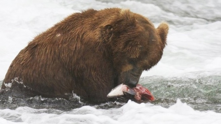 A screenshot from the Brown Bear & Salmon Cam at Brooks Camp in Katmai National Park, Alaska where coastal brown bears feed on the worlds largest Sockeye Salmon runs.