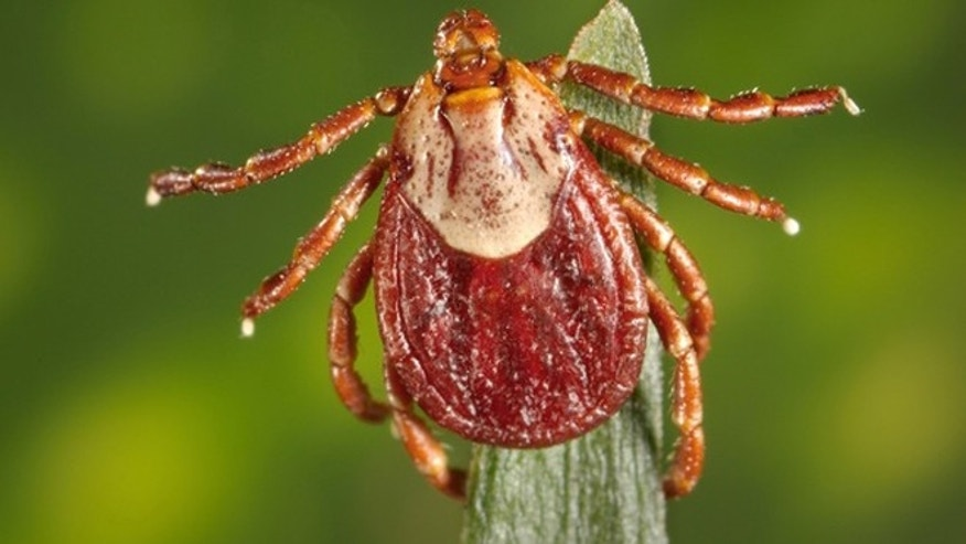 A female Rocky Mountain wood tick, Dermacentor andersoni. These ticks carry Rocky Mountain spotted fever.