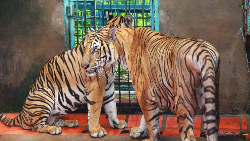July 4, 2012: Conservationists allege that Vietnam's 11 registered tiger farms are merely fronts for a thriving illegal market in tiger parts, highly prized for purported - if unproven - medicinal qualities.