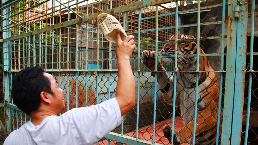 July 4, 2012: Caretaker Lai Van Xa provokes a tiger with his plastic sandal at a tiger farm in southern Binh Duong province, Vietnam.