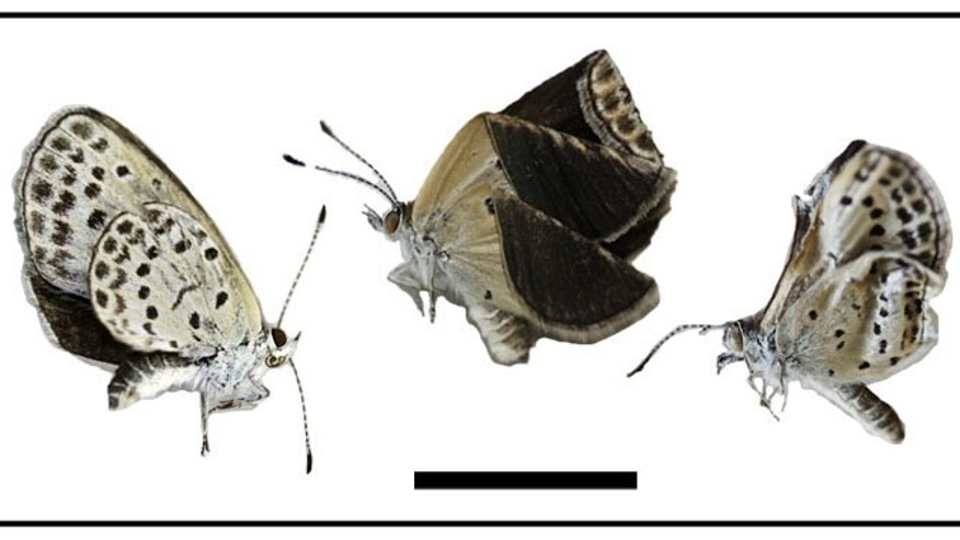 Butterflies near Fukushima, Iwaki, and Takahagi showed wing size and shape deformations.