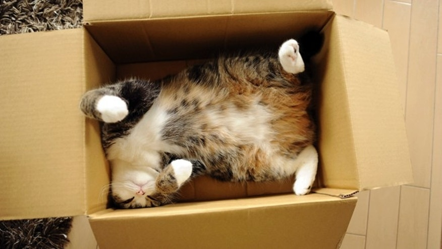 Scottish fold Maru rests in a cardboard box in Japan. After years of viral YouTube viewing and millions of shares, the cat stars of the Internet are coming into their own in lucrative and altruistic ways.