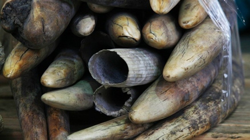 Jan. 4, 2013: Ivory tusks are on display after being confiscated by Hong Kong Customs in Hong Kong. A conservation group claims that Google is helping fuel a dramatic surge in ivory demand in Asia that is killing African elephants at record levels.