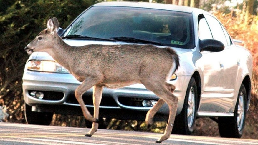 A motorist comes to a complete stop on Route 88 in Wheeling, West Virgina, as a deer crosses the road. Cars crash into deer more than 4,000 times a day, some estimate.