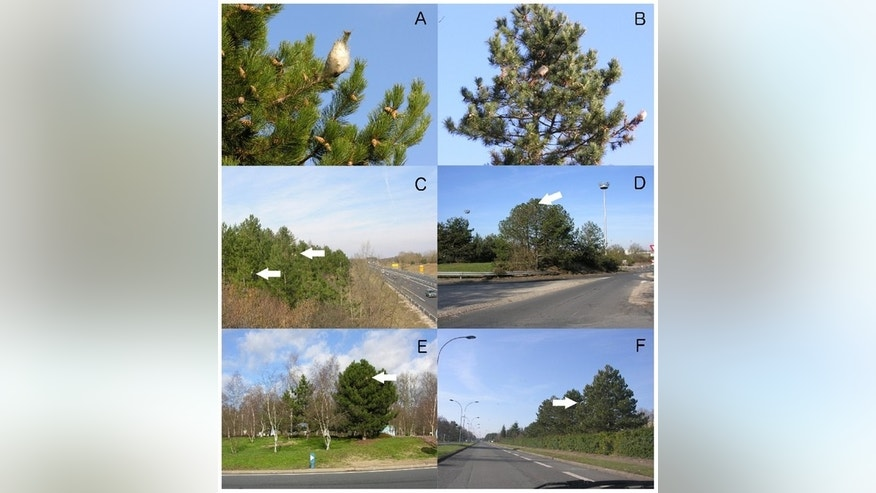 Researchers used Google Street Views to track caterpillar nests from the pine processionary moth; here, different examples of infested trees located along streets in the region of Orleans, France.