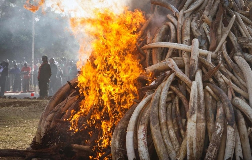 Fifteen tons of elephant tusks are set on fire during an anti-poaching ceremony at Nairobi National Park in Nairobi, Kenya.  (AP Photo/Khalil Senosi-File)