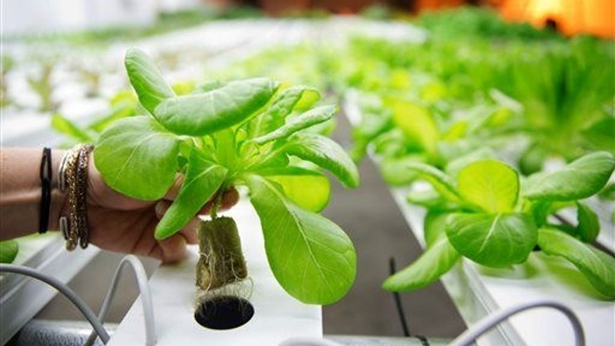 In this photo taken June 4, 2015, a lettuce plant is shown at a hydroponic indoor vegetable growing operation.