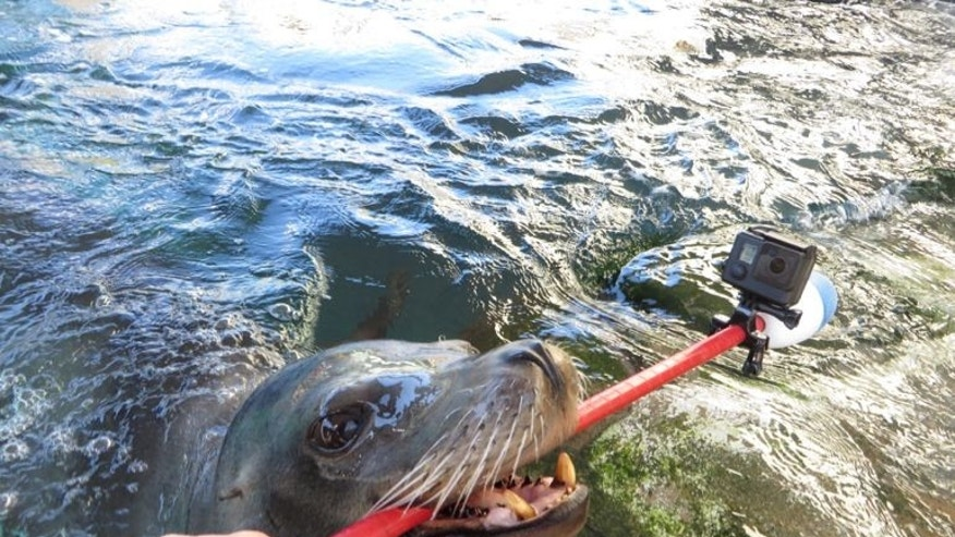 Milo the sea lion and the selfie stick (Hugh Ryono/Aquarium of the Pacific).