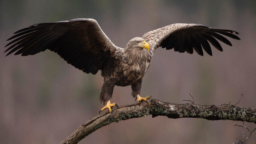 File photo - An adult white-tailed eagle is seen in a forest near the remote village of Sosnovy Bor, some 200 miles north of Minsk, February 12, 2014. (REUTERS/Vasily Fedosenko)