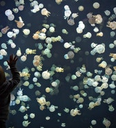 A boy watches jellyfish swim in a large tank at the Vancouver Aquarium in Vancouver, British Columbia May 16, 2013. The tank contains around 2,000 spotted jellyfish and is part of a major display of 15 various species from around the world. REUTERS/Andy Clark (CANADA - Tags: SOCIETY ANIMALS TPX IMAGES OF THE DAY) - RTXZPL7