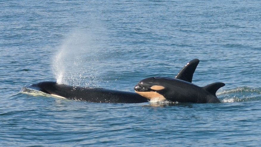 Watch killer whales eat a shark alive