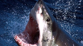 - An undated photo  - of a Great White shark which can now be repelled by a electronic shark shield. An Australian firm unveiled on March 27, 2002 an electronic shark repellant unit which when attached to swimmers legs, emits an electronic field to??? USE ONLY     (Credit : REUTERS/Seachangetechnolgy) - RTXL60Q