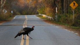 A wild turkey crosses the road in the Parker National Wildlife Refuge on Plum Island in Newbury, Massachusetts November 10, 2014. REUTERS/Brian Snyder    (UNITED STATES - Tags: ENVIRONMENT ANIMALS) - RTR4DN1I