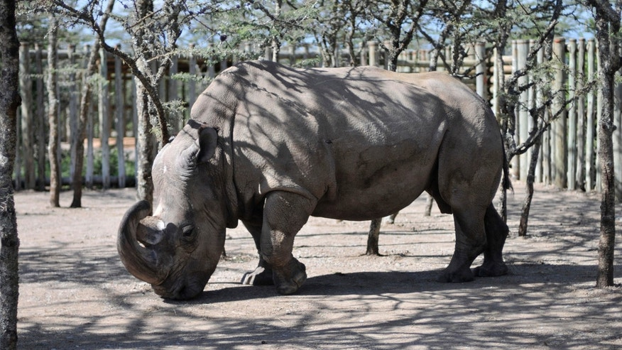 In this Monday Dec. 21, 2009 file photo, Sudan, a northern white rhino, arrives at the Ol Pejeta Conservancy in Kenya.