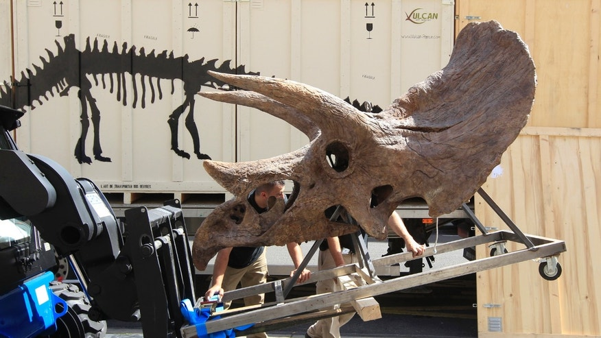 File photo: Workmen move the skull of a Triceratops which will be presented to the public in Paris June 27, 2011. The dinosaur skeletons will be presented to the public from July 1 through September 15. (REUTERS/Jacky Naegelen)