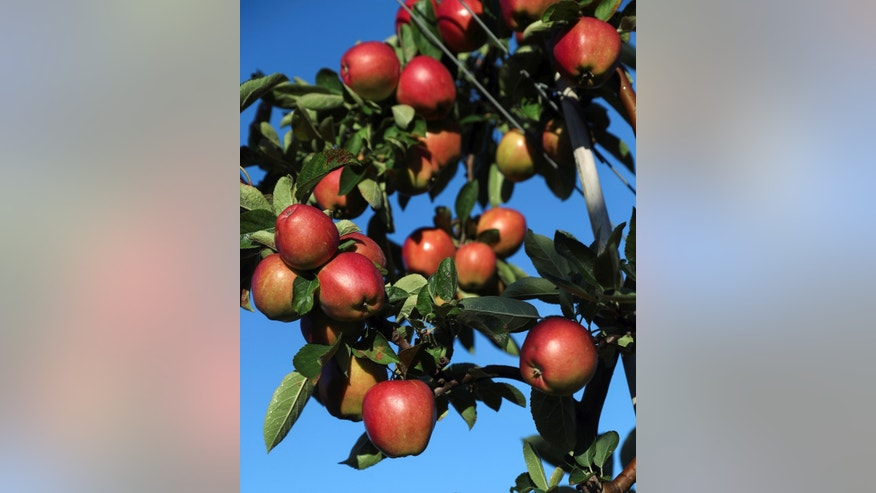 File photo: Apples are seen on a tree at Stocks Farm which employs migrant workers to help harvest the fruit, in Suckley, Britain October 10, 2016. (REUTERS/Eddie Keogh)