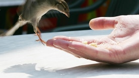 A sparrow lands on a hand to look for some bread-crumbs in the garden of a cafe in the Volksgarten park in central Vienna May 4, 2006.    REUTERS/Leonhard Foeger - RTR1D26J