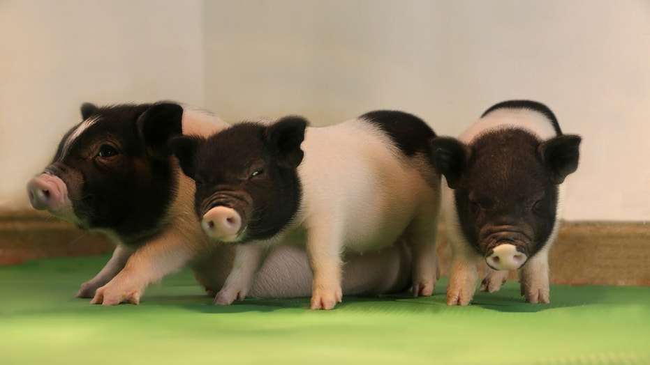 Three of the genetically engineered piglets (eGenesis).