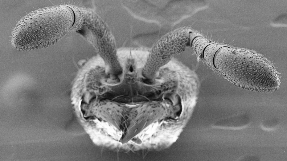 Ants use porous hairs on their antennae to detect pheromones. Scientists developed mutant ants lacking this ability.  (Credit: Sean K. McKenzie/The Rockefeller University)