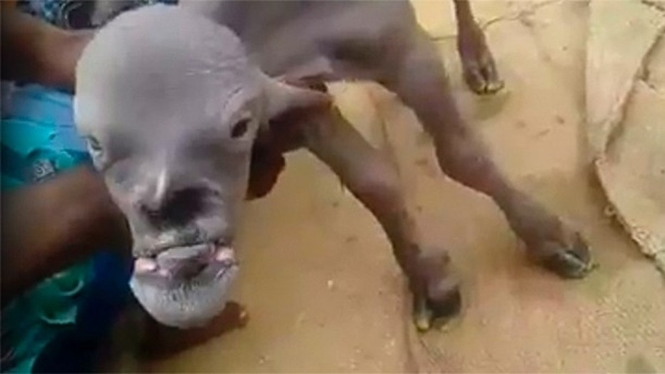 'Demon goat' appears in India, terrifying village with ...