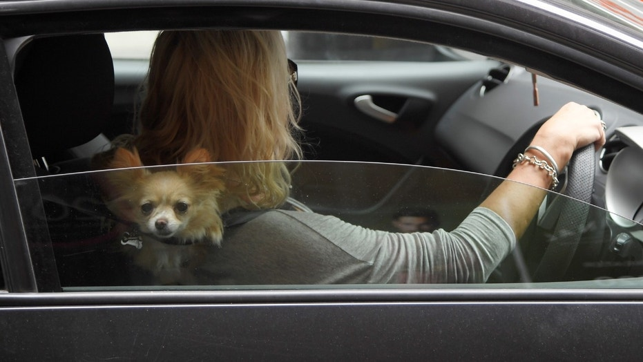 File photo: A dog peeks out of a car window as a woman drives through central London, Britain, September 6, 2017. (REUTERS/Toby Melville)