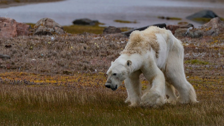 An image of the emaciated polar bear