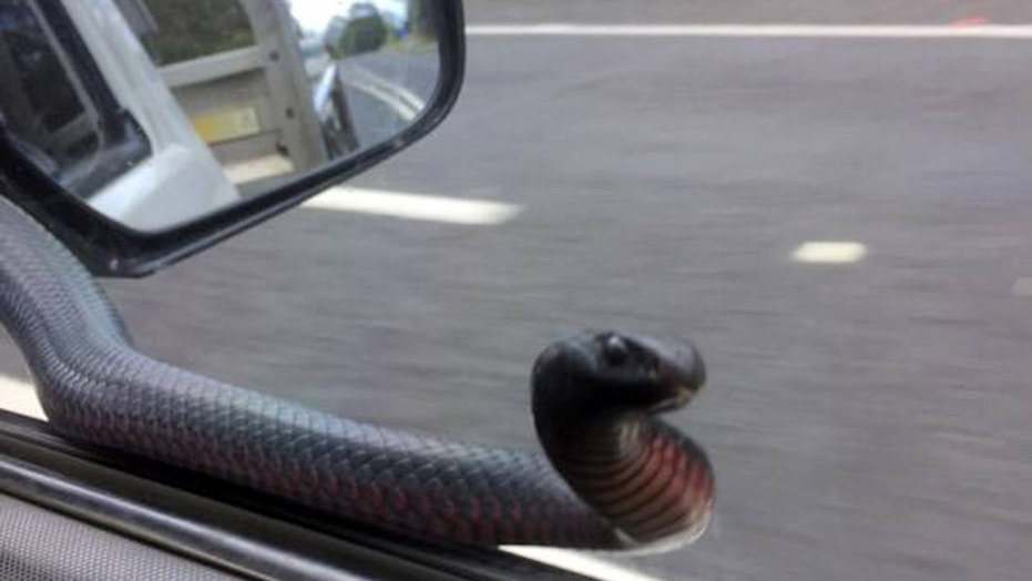 Red-bellied black snake hitches a ride with driver and taps on his window