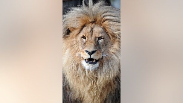 leo the lion3_rex_shutterstock
