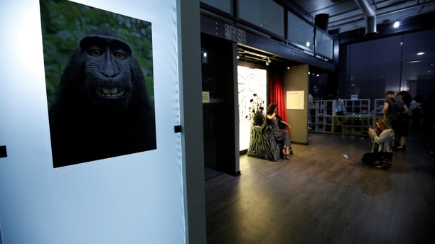 A print of a monkey selfie is on display during a VIP media preview ahead of the opening of The Museum of Selfies in Glendale, California, U.S., March 29, 2018. REUTERS/Mario Anzuoni  NO RESALES. NO ARCHIVES - RC14AD2CCBD0