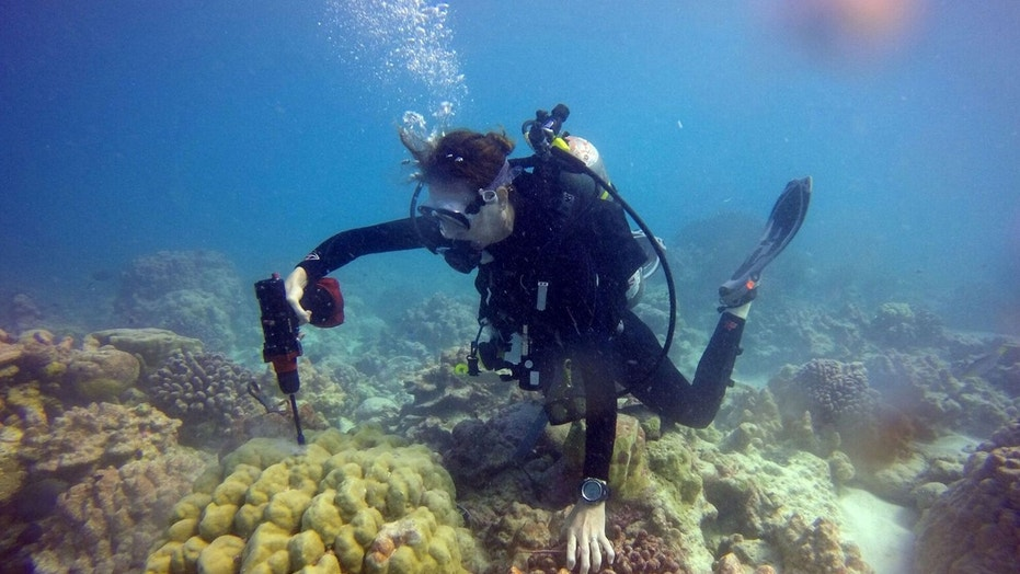 In this photo provided by Kim Cobb, shows Georgia Tech climate scientist Kim Cobb in November at the remote Pacific island of Kiritimati, finding a bit of hope and life amid what in April was a ghost town of dead coral. Cobb used bags and drills to examine the coral and take core samples. Yellow coral is healthy, white is sick and some of the other colors are actually algae over dead coral. (Alyssa Atwood, NOAA/Georgia Tech via AP)