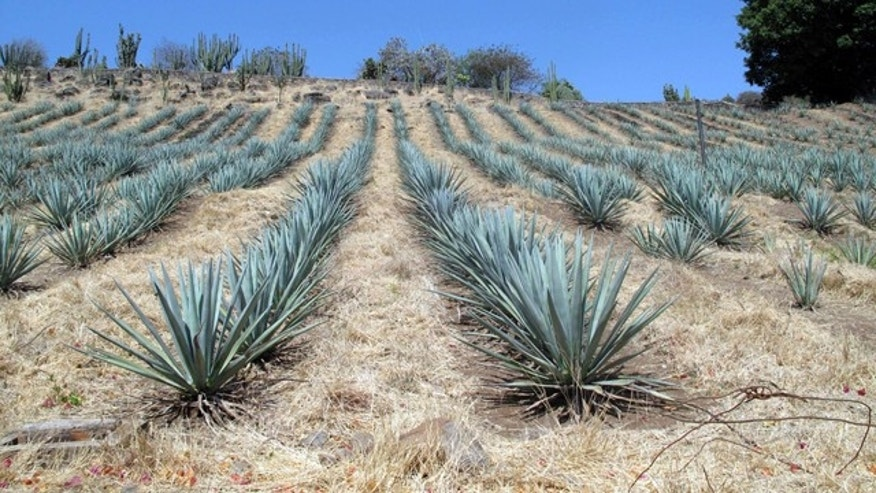 This April 2011 photo shows agave growing on a hillside at Destileria la Fortaleza in Tequila, Mexico. Agave takes from six to 12 years to mature before it is harvested and the spiny leaves removed for baking. Tequila consumption has increased 45 percent in the U.S. over the past five years. It's no wonder, then, that the country is waking up to the tourism power of tequila, the drink, and Tequila, the place _ the center of the farming region of the prickly Weber blue agave plants from which the spirit is distilled.   (AP Photo/Tracie Cone)