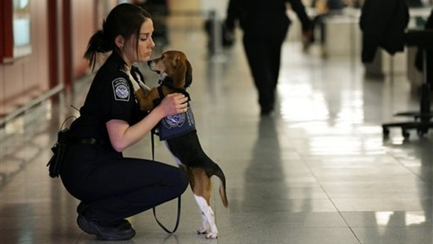 Feb. 9, 2012:  Izzy, an agricultural detector beagle whose nose is highly sensitive to food odors, searches for illegal food stowed in luggage arriving from international flights.