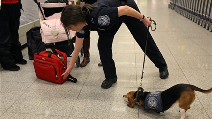 Feb. 9, 2012: Meghan Caffery, a U.S. Customs and Border Protection Agriculture Specialist, works with Izzy, an agricultural detector beagle whose nose is highly sensitive to food odors, as the dog detects food in incoming baggage at John F. Kennedy Airport's Terminal 4 in New York.