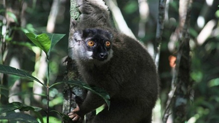 Dec. 14, 2011: A lemur looks through the forest at Andasibe-Mantadia National Park in Andasibe, Madagascar.