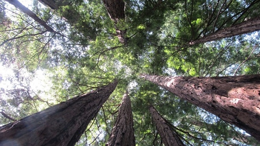 California's mighty redwoods.