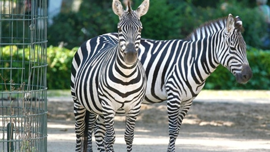 A curious zebra at the Berlin Zoo