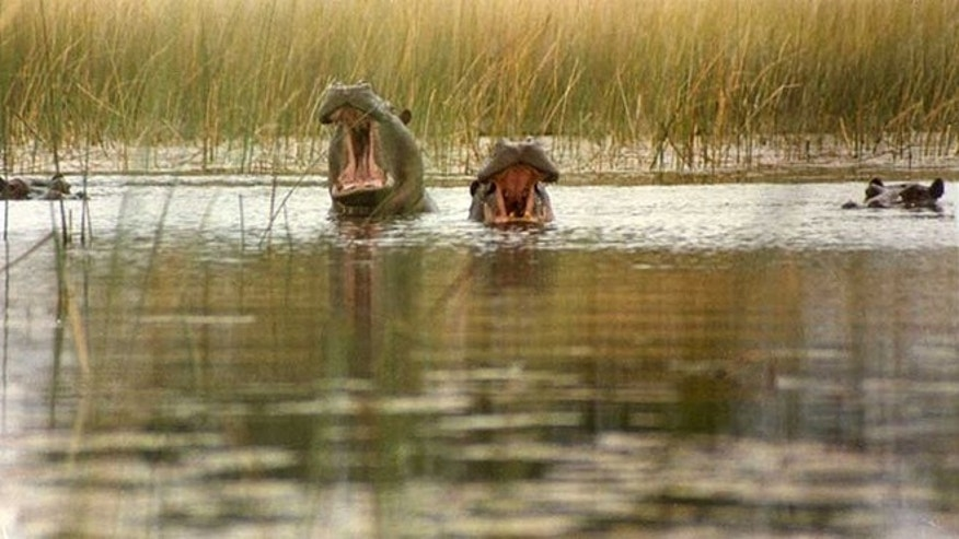 You can catch wildlife, like hippos, seen here from a small boat in the Okavango.