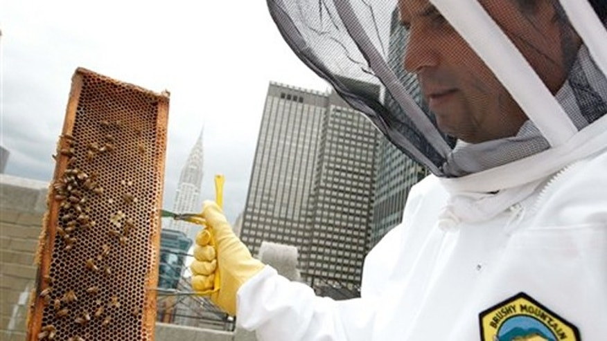 June 5, 2012: Waldorf Astoria hotel culinary director David Garcelon inspects honey bees from hives on the hotel's 20th floor roof in New York.