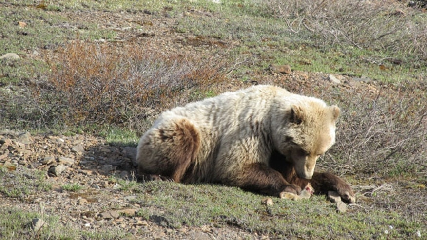 Grizzly bear lunching on ground squirrel by side of road, Denali National Park.