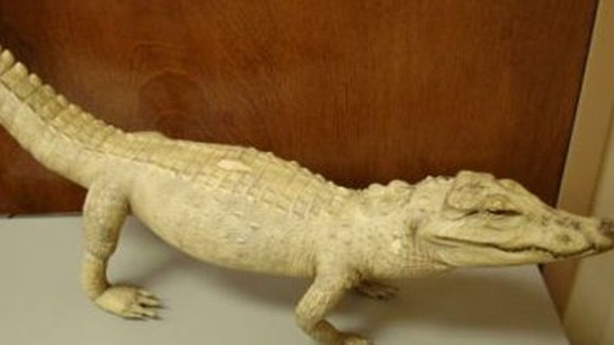 U.S. Customs and Border Protection agriculture specialists seized this stuffed crocodile from a man's bag in Atlanta when he re-entered the country after a trip to Nigeria.