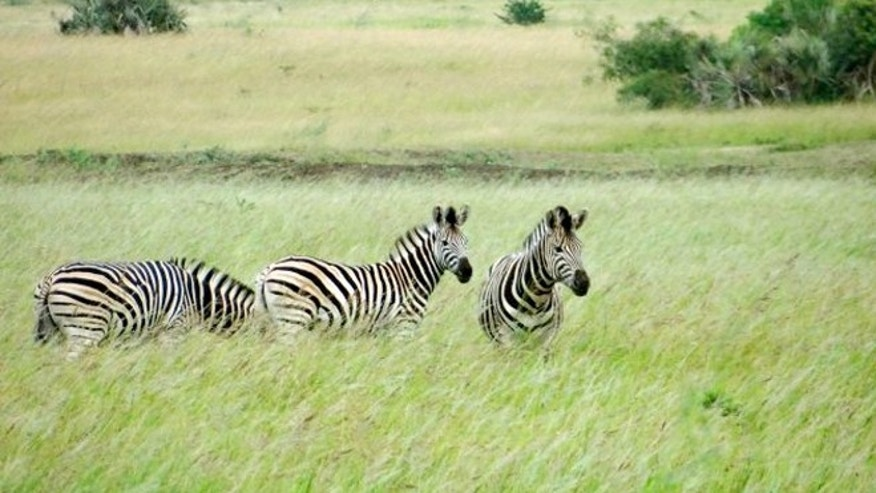 Three zebras grazing in the Phinda Private Game Reserve, near the town of Hluhluwe.