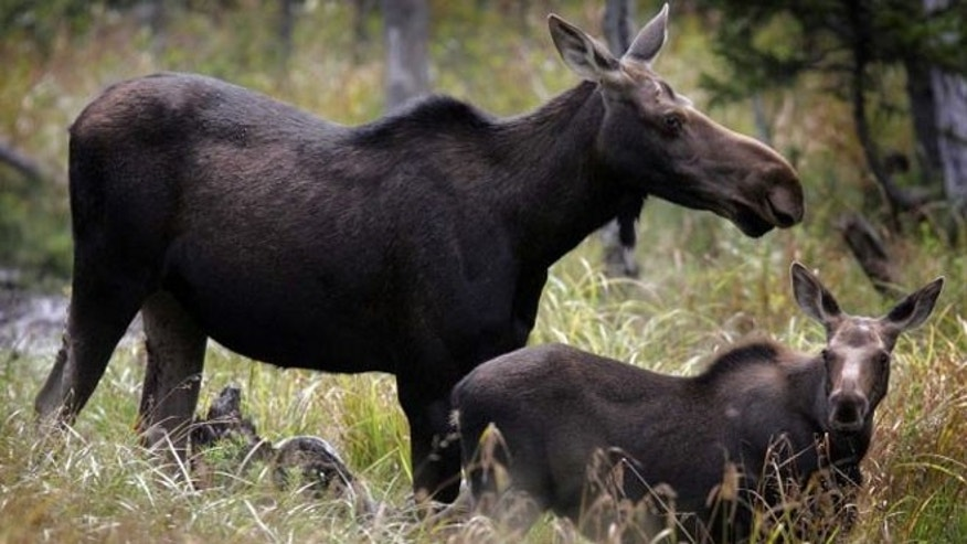 Moose are seen in Franconia, N.H. Moose watching is one of several free things to do in New Hampshire.