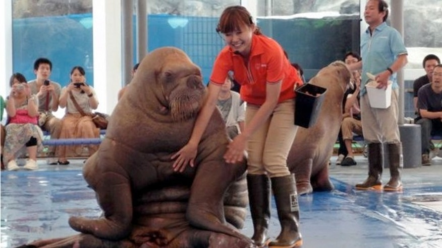 A worker at the Toba Aquarium in Toba, Japan, with a walrus during a show.