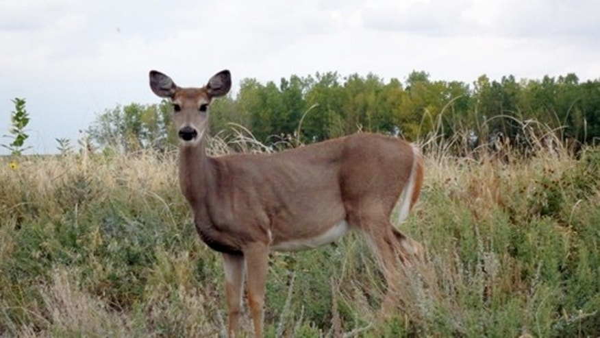 Sept. 26, 2012:  A white-tailed deer doe at the Rocky Mountain Arsenal National Wildlife Refuge in Commerce City, Colo.