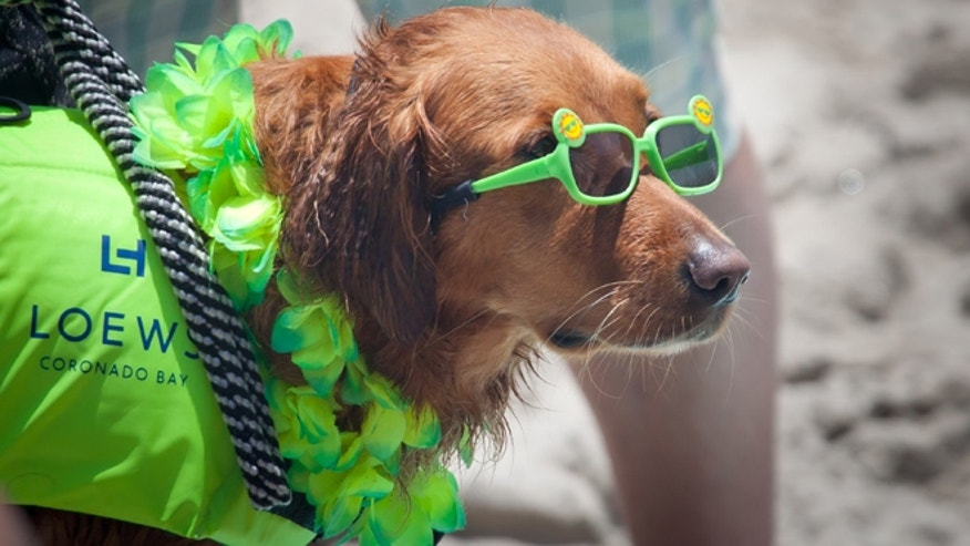 A dog rocks some shades at Loew's Coronado Bay Hotel's Surfing Championship.