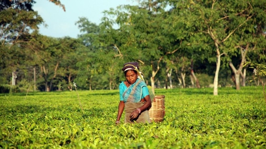 Dec. 4, 2012: A plucker on the Addabarie Tea Estates pauses among the bushes in Balipara, India.