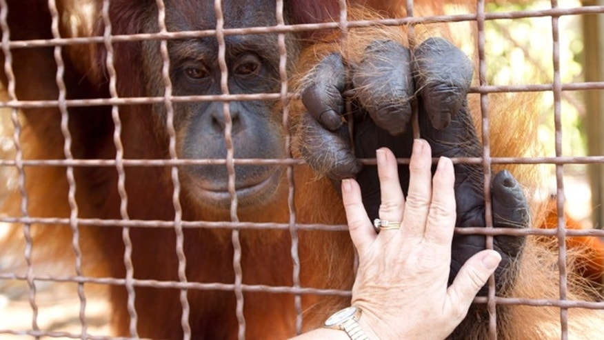 Apr. 4, 2012: Linda Jacobs touches an orangutan at Jungle Island in Miami.