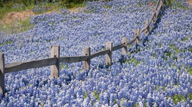 Bluebonnets cover a hill in the Texas Hill Country.