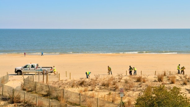 Economic stimulus money is being spent to restore the Ocean City, Maryland beach. A crew of workers from Environmental Quality Resources, Inc of Arbutus Maryland are replanting wild grass destroyed by Hurricane Irene during the summer. While the grass is brown, the jobs are green.