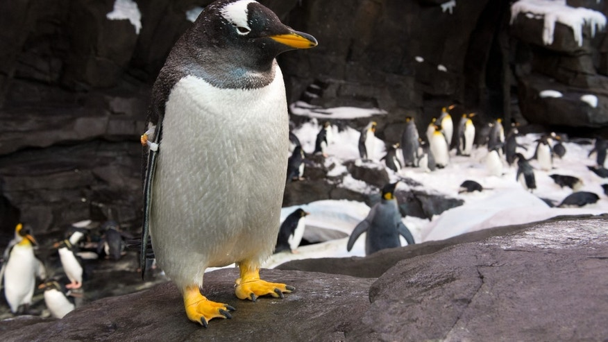 The Gentoo penguin.